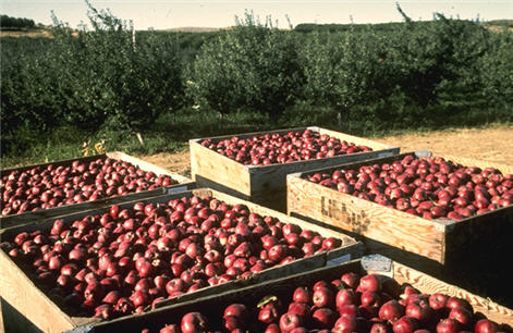 Apples_Harvest_USDA