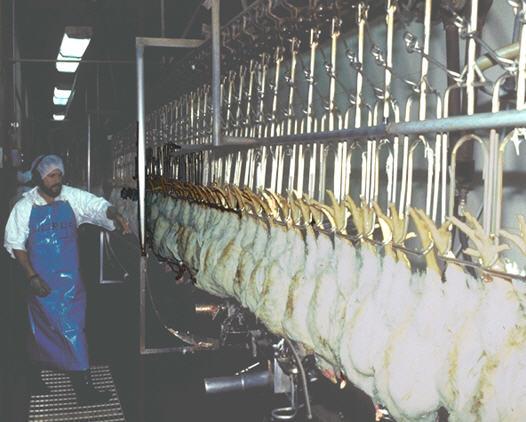 Chicken_Inspection_USDA
