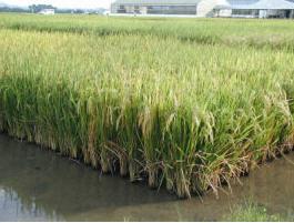 Rice_in_Field